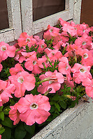 Pink Petunia 'Trilogy Salmon' annual flower in window box