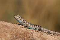 425900001 a wild male great basin fence lizard sceloporus occidentalis longipes perches on a rock along chalk cliffs road bishop california united states
