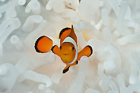 Western Clown Anemonefish (Amphiprion ocellaris) lives in a symbiotic relationship with Magnificent Sea Anemones (Heteractis magnifica), Sulawesi, Indonesia.