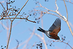 A Robin opens its wings to fly after diving from a branch