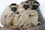 Few of Madagascar's inhabitants are as cute as sifaka lemurs, including these three huddled together for warmth. The island's nighttime temperatures drop precipitously in the desert regions. Sifakas are great leapers, bouncing from tree to tree like pinballs. Their legs are ill-suited to walking so they skip sideways when moving on the ground.