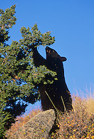 Black Bear (Ursus americanus), adult eating juniper berries, Yellowstone National Park, USA