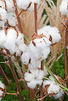 Cotton Bolls ready for Harvest from Plant