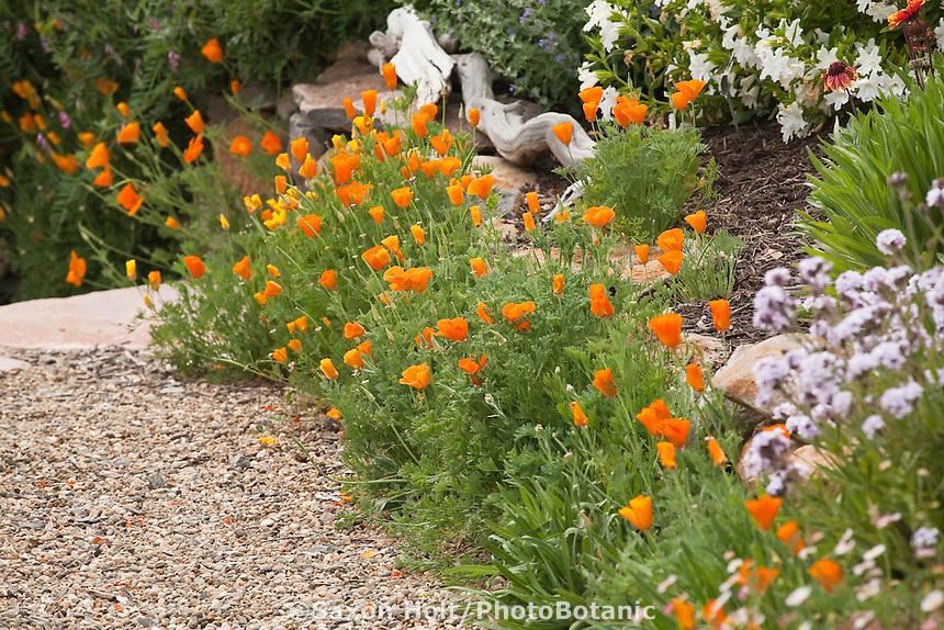 Orange California poppy (Eschscholzia californica) flowers along gravel path in garden; Torgovitsky