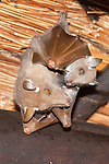 Wahlberg's epaulleted fruit bat, Epomophorus wahlbergi, with pup, roosting, Kruger National Park, South Africa