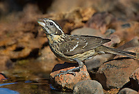 538660004 a wild female black-headed grosbeak pheucticus melanocephalus drinks from a small pond near the madera grasslands outside green valley arizona united states