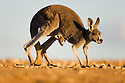 Australia,  NSW, Sturt National Park; red kangaroo female hopping with joey looking out of pouch (Macropus rufus); the red kangaroo population increased dramatically after the recent rains in the previous 3 years following 8 years of drought