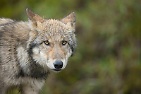 Wolf pup of the year, Denali National Park, interior, Alaska.