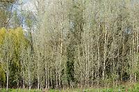 Copse of White Poplar trees, also known as Silver Poplar or Silverleaf Poplar, Populus alba, in Eastleach Turville in the Cotswolds, UK
