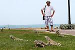 Foto: VidiPhoto..ORANJESTAD - Leguanen als toeristische attractie in Oranjestad op Aruba. Veel toeristen zijn bang voor de relatief ongevaarlijke dieren, die vaak in de buurt van zwembaden verblijven. De dieren lessen dan hun dorst met het zoetwater uit de baden. De leguaan is banger voor mensen, dan andersom. Het is bovendien een van de meest voorkomende dieren op Aruba. Helemaal ongevaarlijk zijn ze echter ook weer niet. Vooral de mannetjes kunnen in de paartijd -vanaf oktober- agressief zijn en met hun staart slaat of gemeen bijten..