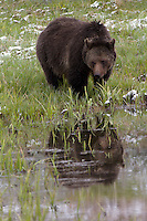 Grizzly bear (Ursus arctos horribilis) mom or sow, studies the pond surface before taking a drink.