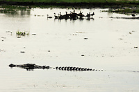 A large saltwater crocadile swims past some ducks in Kakadu, Australia