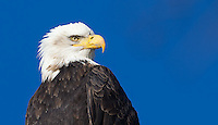 Bald eagles congregate in the Skagit Valley and along the Skagit River in winter.