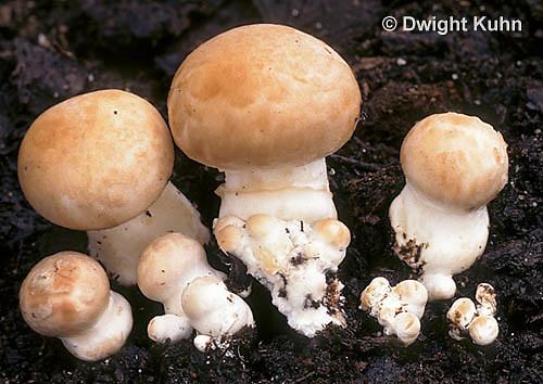 DC33-003d  Portabella Mushroom - mushroom grow kit - Agaricus bisporus