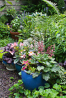 Container gardens pots, Festuca blue grass, blue pots, Alyssum Lobularia, purple Heuchera Berry Timeless in bloom, purple foliage Heuchera Grape Expectations, yellow Sedum, Coleus, Begonia in flower, basil herb in pot