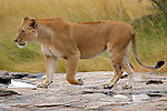 Africa, Kenya, Masai Mara. Lioness walks across rock after the rains in the Mara.