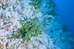 The Great White Wall, Rainbow Reef, Somosomo Strait, Fiji; large colonies of green Black Sun Coral growing amongst an immense wall of white soft corals