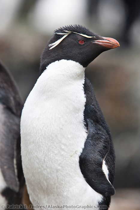 Rockhopper penguin. New Island, Falkland Islands, United Kingdom