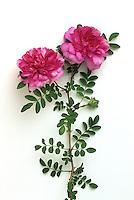 rosa roxburghii plena hybrid 'Chestnut Rose', aka. 'Burr Rose', 'Chinquapin Rose'