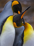 Two king penguins, South Georgia Island