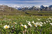 Mountain Aven wildflowers on the tundra, Denali National park, interior, Alaska.