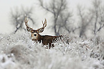 Mule Deer buck in snow.