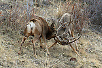 Mule Deer Bucks Fighting