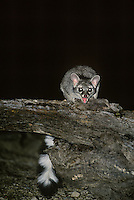 675900002 a wild ringtail or ringtail cat bassariscus astutus snarls at the bright light while sitting on a dead stump in ramsey canyon southeast arizona united states