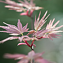 Acer palmatum 'Beni-tsukasa', early April. A Japanese maple renowned for its pink spring foliage.