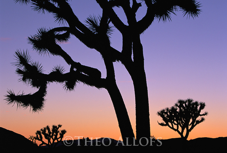 California, Joshua Tree National Park, Joshua trees silhouetted at sunset