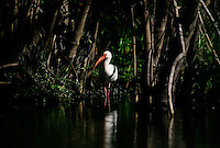 Everglades, Fla. -- Feb. 17, 2007 -- A white ibis walks through the water near the H.P. Williams Roadside Park in the Big Cypress National Preserve just north of the Everglades National Park on the southern tip of Florida on Saturday, Feb. 17, 2007.