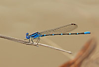 338400017 a wild male blue-ringed damselfly argia sedula perches on a dried grass stem over a stream at santa ana national wildlife refuge in the rio grande valley of south texas united states