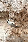 Western Rock Nuthatch, Sitta n.zarudnyi, Lesvos Island, Greece, at nest hole, camouflaged on rock , lesbos