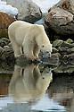 Polar bear stares at his reflection in Sallyhammna Harbor, Spitzbergen