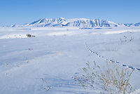 Animal tracks in the snow of Alaska's arctic coastal plains, Alaska