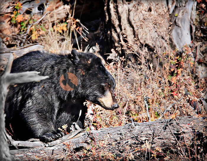 Black bear in Yellowstone, searching for berries among berry bushes