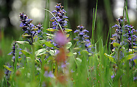 Ajuga Wildflowers in Spring Bloom