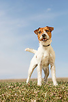 Jack Russell Terrier on Leash
