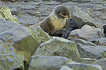 Female Northern Fur Seal bonding with newly born pup on rocky beach at St Paul Island, Alaska in the Pribilof Islands