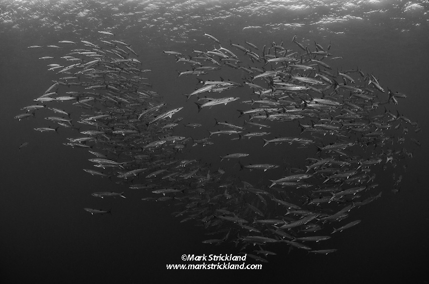 A school of Chevron Barracuda, Sphyraena genie, hovers in mid-water over a site called Black Magic, Barren Island, Andmaman Islands, India, Andaman Sea