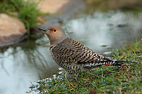Adult female Northern Flicker, early morning. Central Texas.<br />