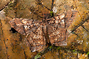 Leaf-mimicking moth {Amblychia sp.}, camouflaged as dead leaf. Maliau Basin, Sabah, Borneo, Malaysia.
