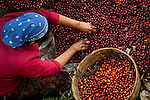 Coffee picker sorts her take on a coffee farm on the slopes of the Santa Ana Volcano in western El Salvador.  (Model & Property Released)