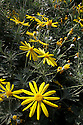 Gray-Leaved Euryops, Euryops pectinatus