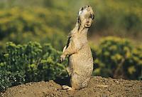 Gunnison's Prairie Dog (Cynomys gunnisoni), adult calling, Colorado, USA