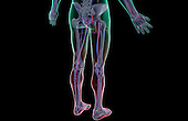 A posterolateral view (right side) of the blood supply of the lower body. The surface anatomy of the body is semi-transparent and tinted red and green. Royalty Free