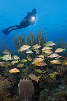 TH2443-D. Bluestriped Grunts (Haemulon sciurus), White Grunts (Haemulon plumierii), French Grunts (Haemulon flavolineatum), Porkfish (Anisotremus virginicus) and Schoolmaster snappers (Lutjanus apodus) aggregating among sea rods, sea plumes, and sea fans on a healthy coral reef in the shallows. Cuba, Caribbean Sea.<br /> Photo Copyright &copy; Brandon Cole. All rights reserved worldwide.  www.brandoncole.com