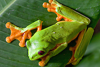 A red-eyed tree frog (Agalychnis callidryas) rests on a leaf in Costa Rica.