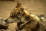 North America, Americas, USA, United States, Arizona. Lone Mexican Gray Wolf at the Arizona-Sonora Desert Museum.