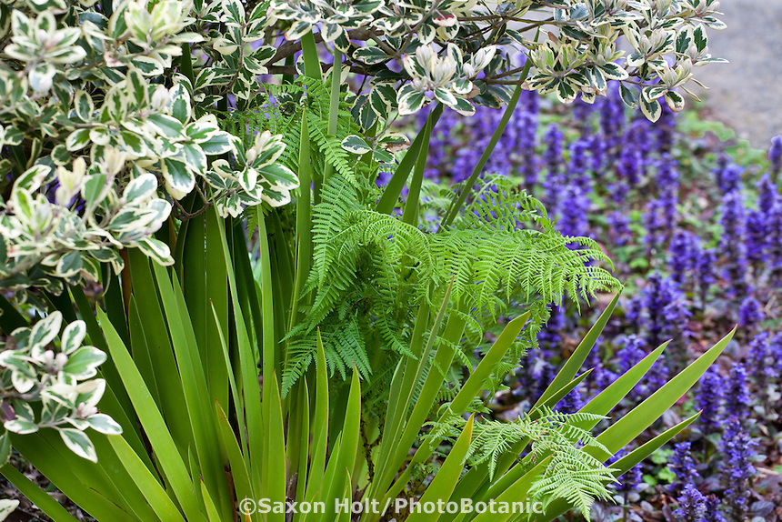 Strap foliage of Xeronema callistemon - Poor Knights Lily San Francisco Botanical Garden